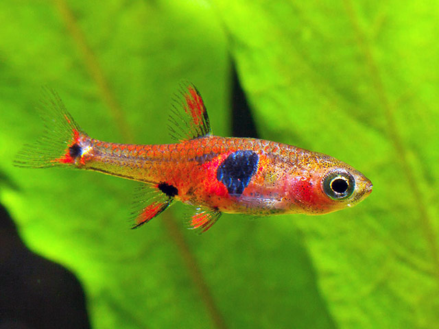 Fantastically coloured fish (Borarus naevus)